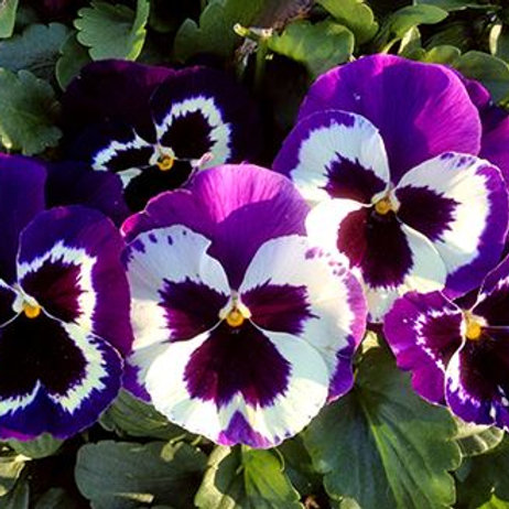 """PANSY DELTA™ VIOLET AND WHITE 6"""""""