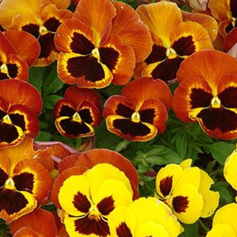 """PANSY DELTA™ FIRE 6"""""""