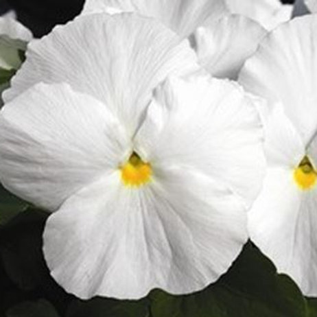 PANSY MAJESTIC GIANT CLEAR WHITE 6""