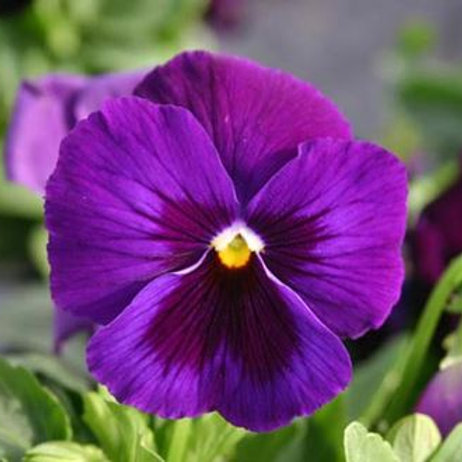 PANSY DELTA™ PURE VIOLET 6""