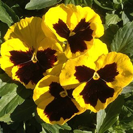 PANSY MAJESTIC GIANT II YELLOW/BLOTCH 6""