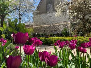 Les tulipes Triomphe Négrita colorent le jardin