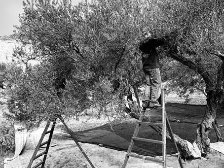 La cueillette des olives se terminent à Amorgos