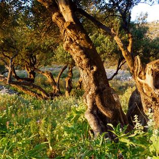 Promenade dans les oliveraies centenaires.