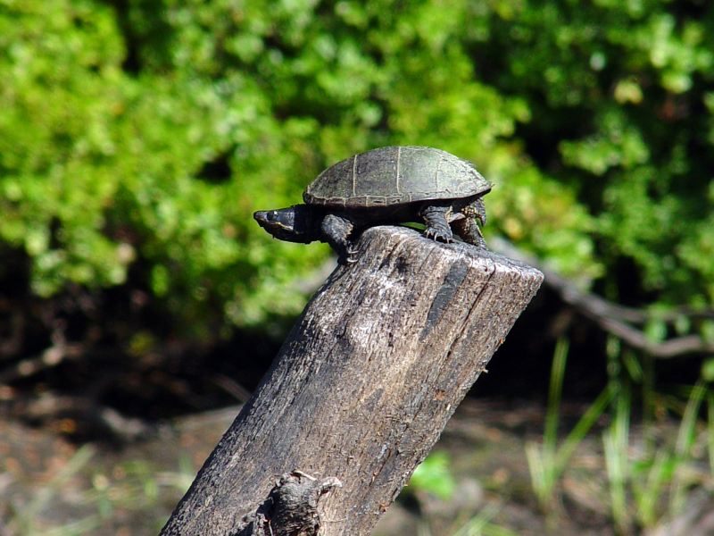 turtle on post