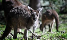 kangaroo-4361467_1920.jpg