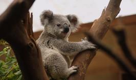 koala-3055832_1920.jpg