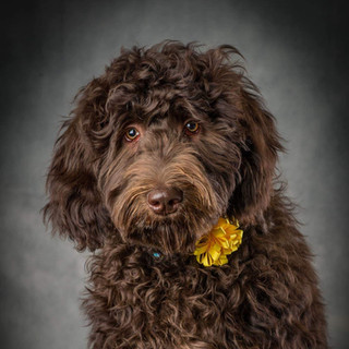 Maddy Labradoodle