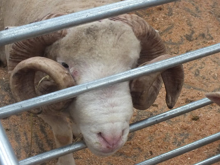 GAM Northern Dorset Breeders' Club Annual Show & Sale...