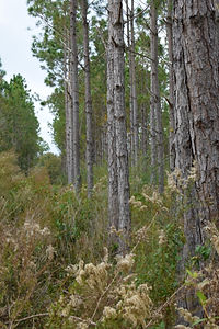 Planted Pines.JPG