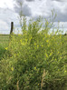 A Soggy Spring Increases the Need for Sweetclover Awareness