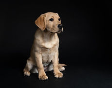 Canva - Yellow Labrador Retriever Puppy