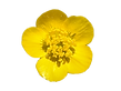 yellow-buttercups-free-png-clipart-1.png
