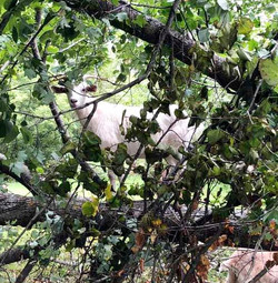 goats in tress