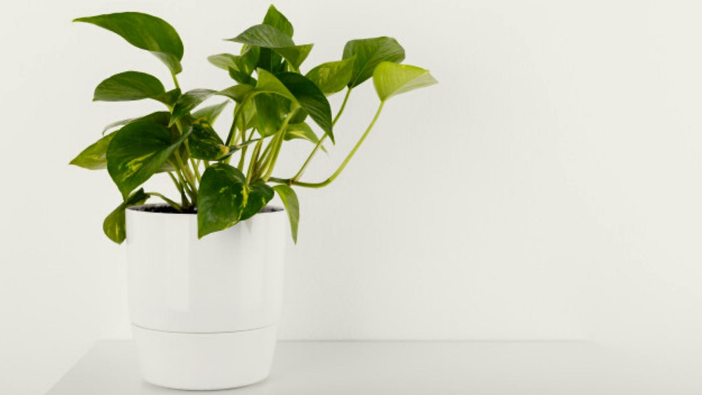 Ivy best home office plant