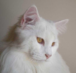 Italian Wonder Maine Coon Cattery 11