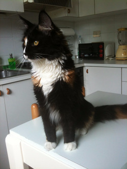 Italian Wonder Maine Coon Cattery 4