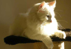 Italian Wonder Maine Coon Cattery 1