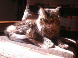 Italian Wonder Maine Coon Cattery 6