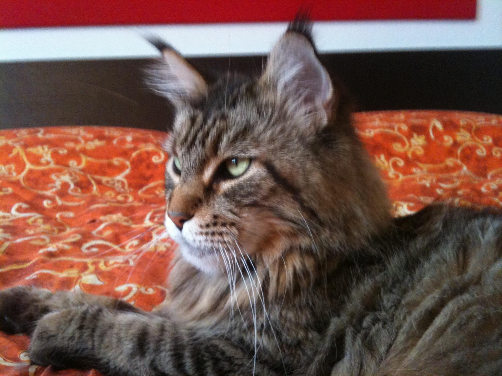 Italian Wonder Maine Coon Cattery 2
