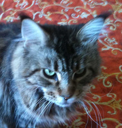 Italian Wonder Maine Coon Cattery 10