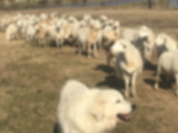 GEOF Sheep.JPG