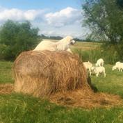 Dog on Hay