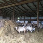 Sheep in the barn