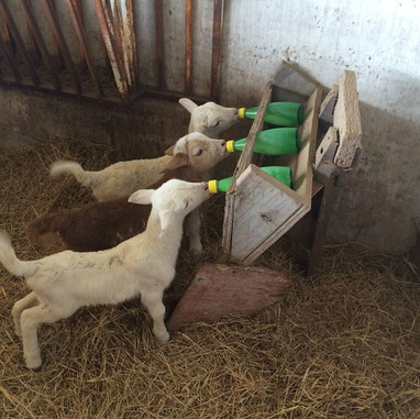 Lambs Eating