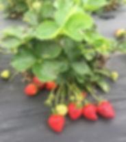 Good Earth Organic Farm Strawberries