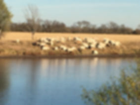 GEOF Sheep2.JPG