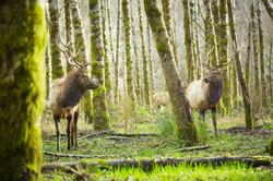 Elk Dec 2017 - Nilas Photography-11