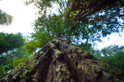Nilas - Oregon Adventure - Redwoods-12