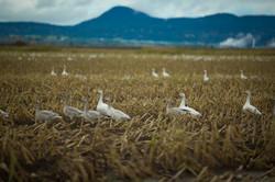 American Snow Geese - Bow - Washington -  PNW - 2017 - Nilas Photography - 1.1-3