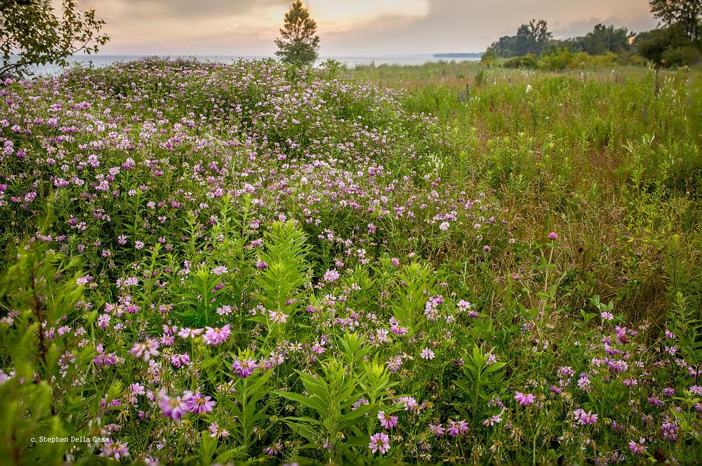 Wildflowers at Cobourg's West Beach. Copyright, Stephen Della Casa