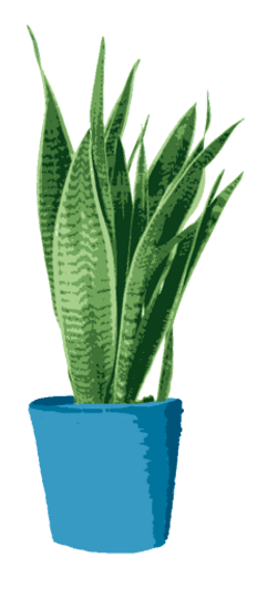 Drawing of a Large Snake Plant.png