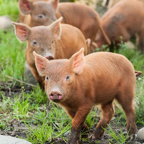 PIGS DINE IN THE VINES
