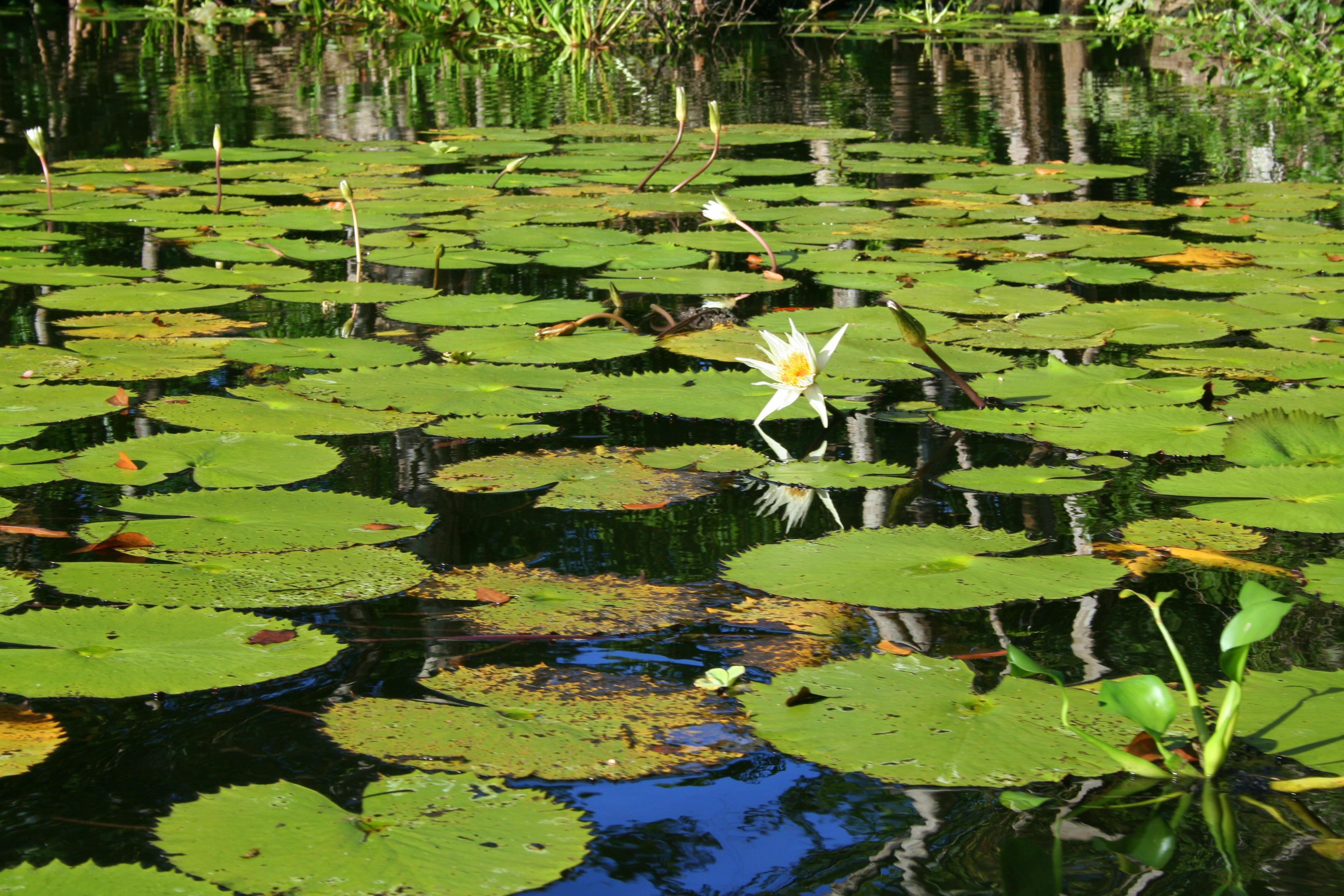 הרצאות מסע - חבצלות מים בגואטמלה
