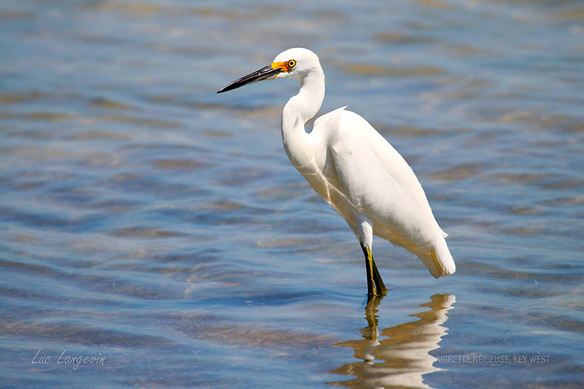 Aigrette neigeuse, Key West, FL (1147)
