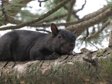 Black Squirrel #1