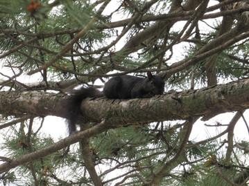 Black Squirrel #2