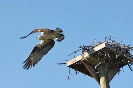 Osprey_Dea_Birdshare-360.jpg