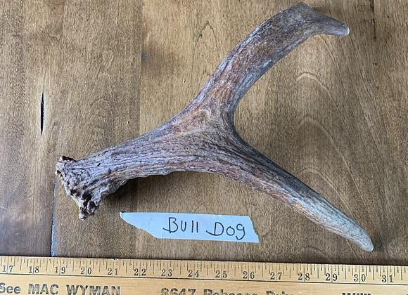 Bulldog( Small moose antler)