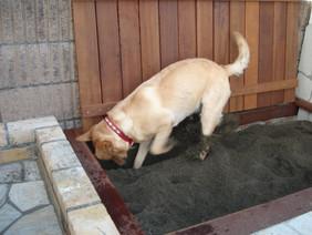 穴掘り好きのラブラドールのために砂場があるドッグガーデンです。茅ヶ崎市(ラブラドールレトリバー)
