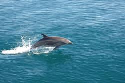 single-dolphin