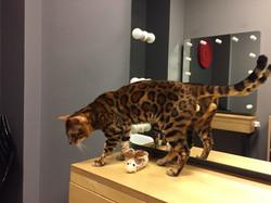 бенгальський кот