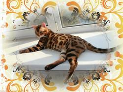 Бенгальский кот