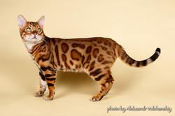 Бенгальский кот Magic