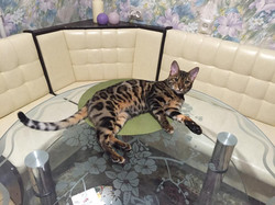 """Бенгальский котенок """"Jaguar Jungle"""""""