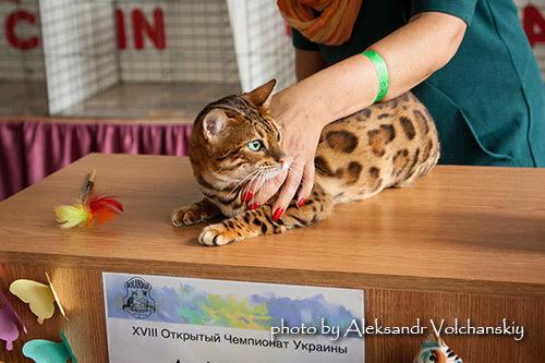Бенгальская кошка на выставке